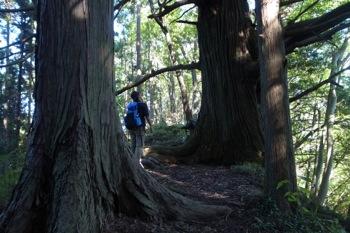 在りし日の万六の尾根の巨木